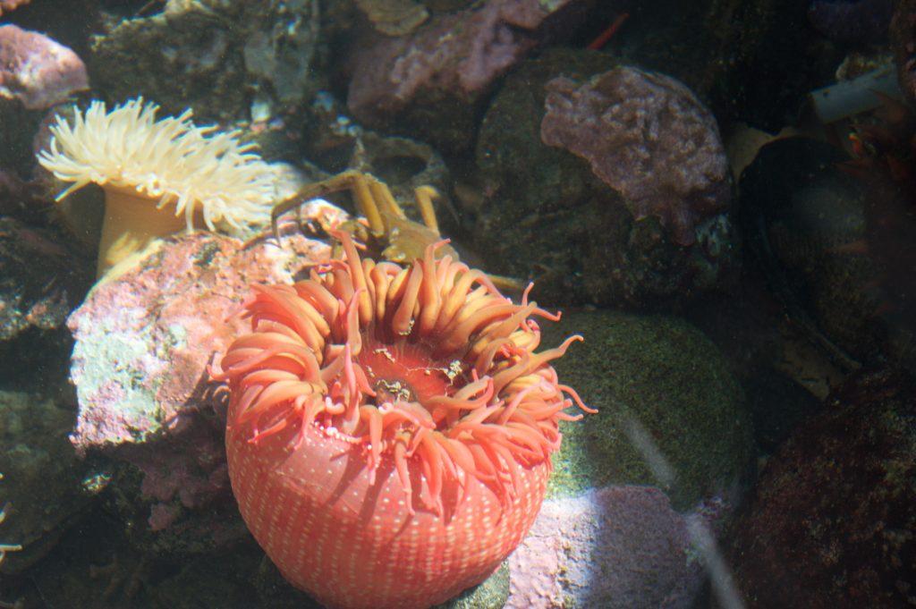 FHL anemone