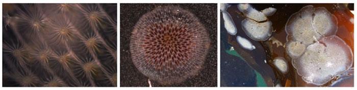 bryozoan colonies
