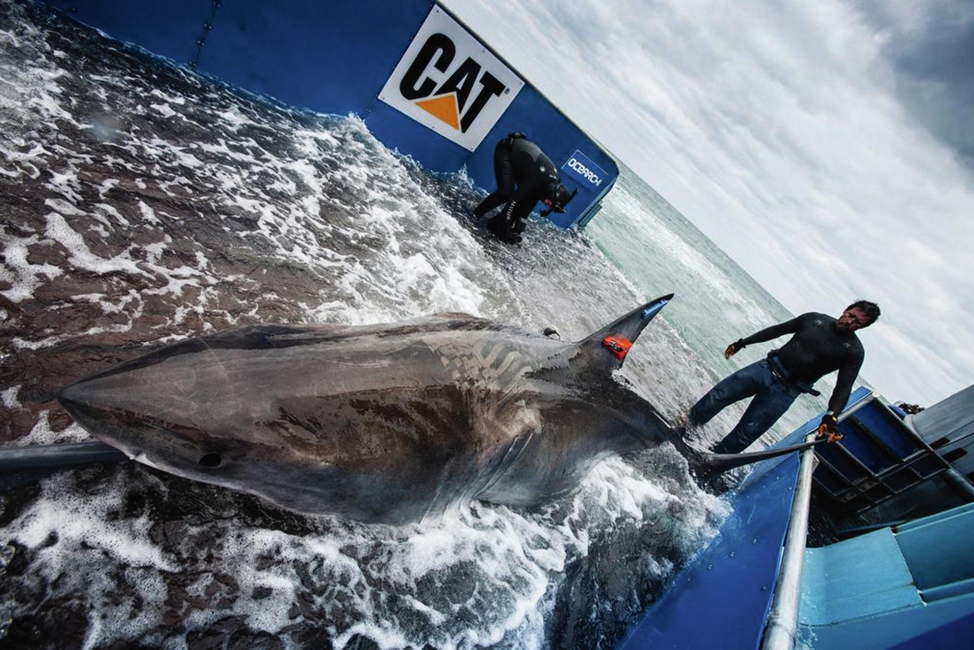 Great white shark being tagged