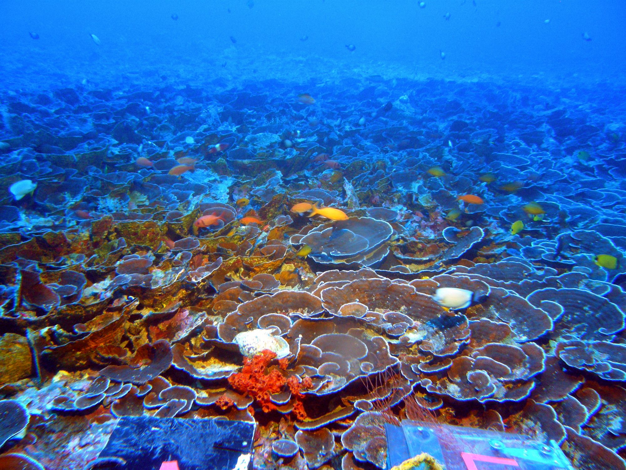 Corals that live in the mesophotic