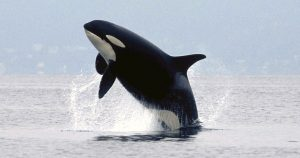 breaching killer whale (K16)