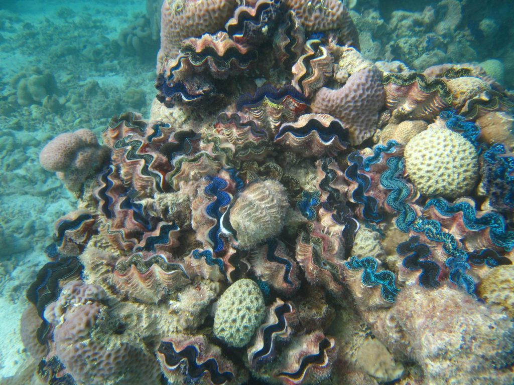 Giant clams on a reef in the Orona lagoon