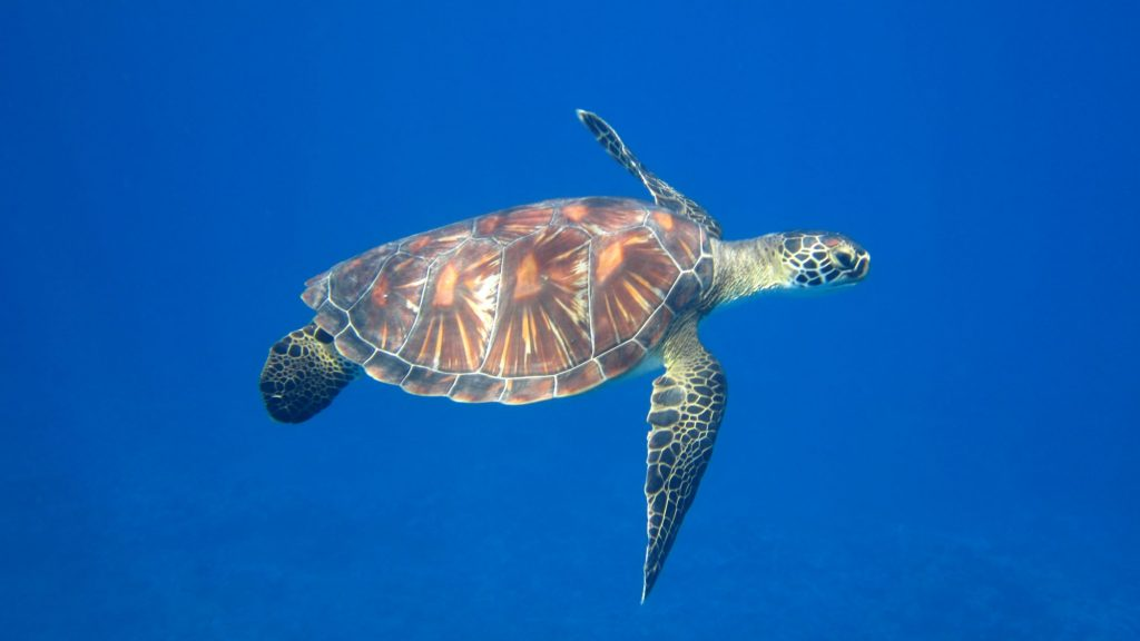 A young green sea turtle (Chelonia mydas) encountered in the offshore reefs of Orona.