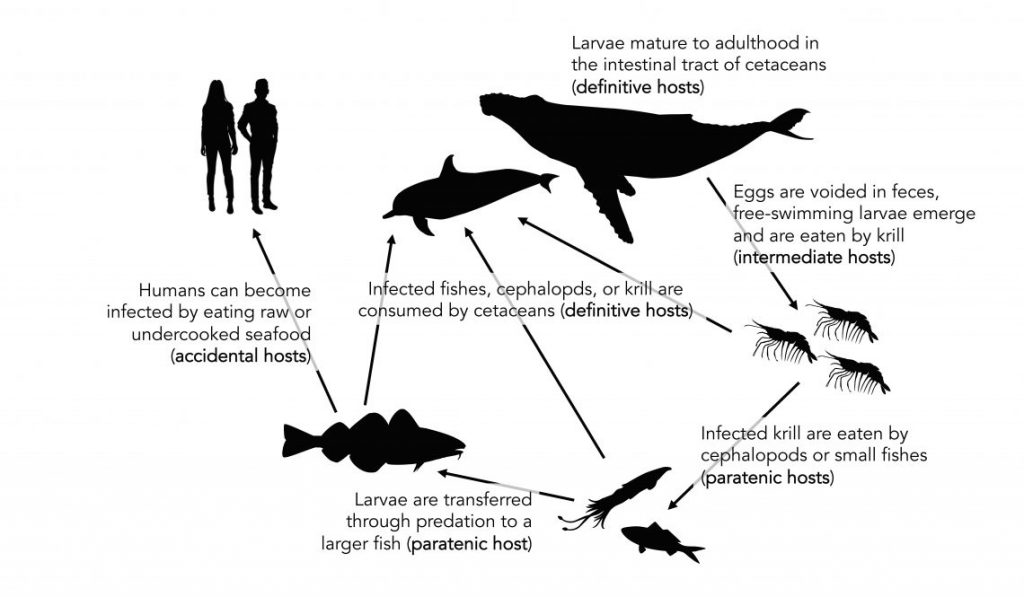 diagram of infectious parasites in food web
