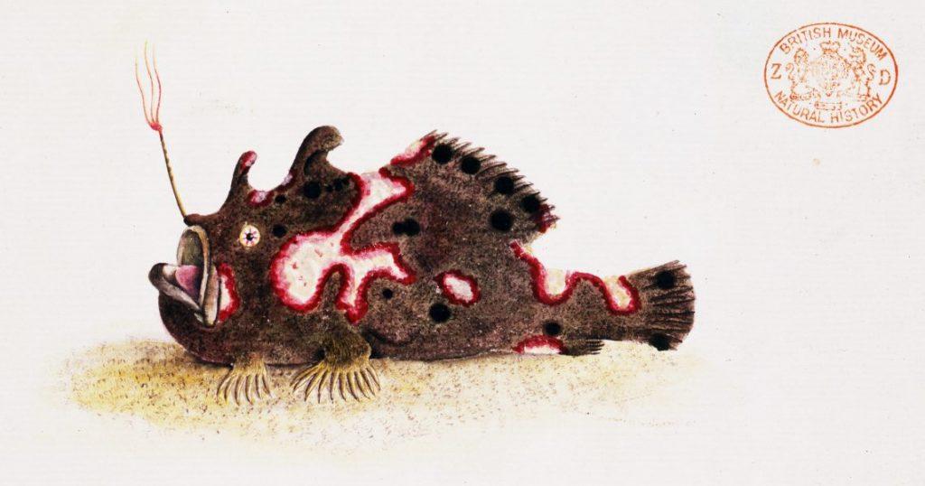 Frogfish illustration