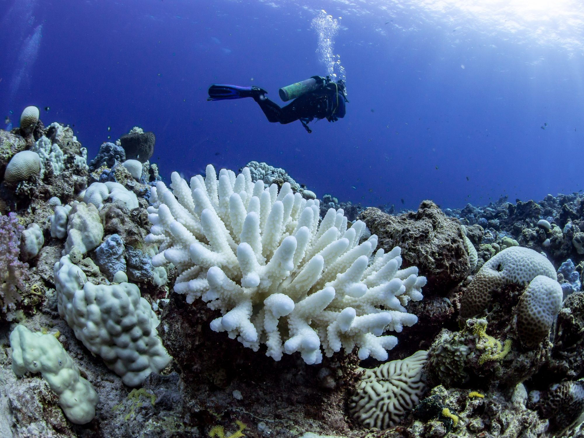 Bleached corals in the Red Sea.