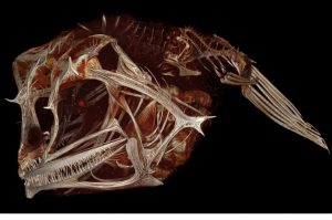 Digital 3D scan of fish skeleton
