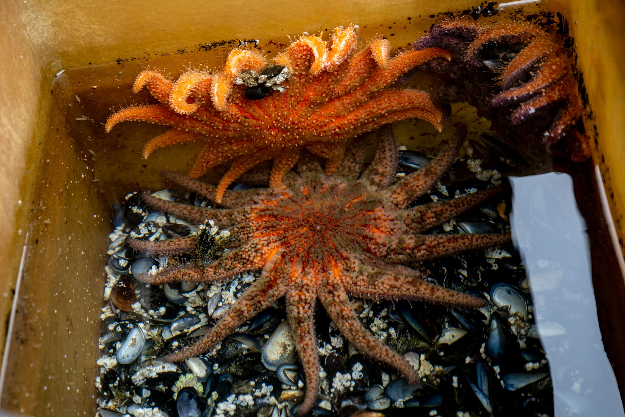Adult sunflower sea stars feeding on mussels at UW Friday Harbor Laboratories. The stars suck out and ingest the soft tissues of mussels, then discard the shells, which collect at the bottom of the tank.